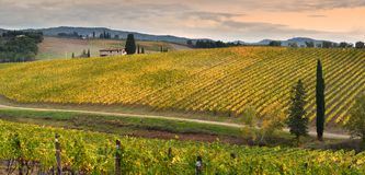 Rows of yellow vineyards at sunset in Chianti region near Florence during the colored autumn season. Tuscany. royalty free stock photo