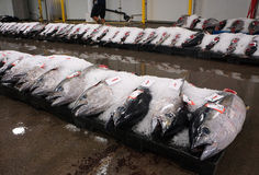 Rows of yellowfin tuna fish for sale. Yellowfin tuna packed in ice ready for auction at fish market Stock Photography