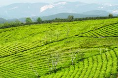 Rows of young bright green tea bushes at tea plantation. Scenic rows of young bright green tea bushes at tea plantation. Amazing rural landscape stock photography