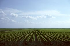 Rows of young carrot plants Royalty Free Stock Photos