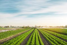 Rows of young carrots grow in the field. Organic vegetables. Agriculture. Farm. Selective focus stock images