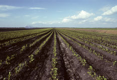 Rows of young celery in a field Stock Photo