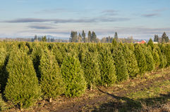 Rows of young Christmas trees in a nursery. Rows of evergreen trees for Christmas trees in a nursery Royalty Free Stock Image