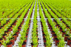 Rows of young conifers growing inside a greenhouse Stock Photography