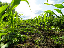 Rows of the young corn. On a field Stock Photo