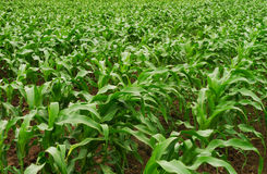 Rows of young corn field Stock Images