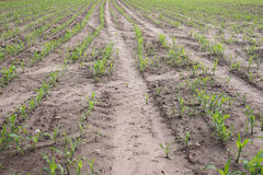 Rows of young corn plants royalty free stock photos