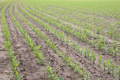 Rows of young corn plants Stock Photos