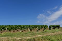 Rows of young grape vines. Vine rows are aligned on the slope of a hill against the blue sky with small white clouds. Beautiful vineyard is situated near Royalty Free Stock Photography