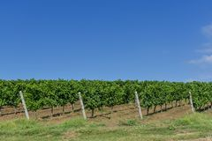 Rows of young grape vines. Vine rows are aligned on the slope of a hill against the blue sky with small white clouds. Beautiful vineyard is situated near Stock Photos