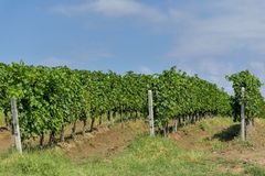 Rows of young grape vines. Vine rows are aligned on the slope of a hill against the blue sky with small white clouds. Beautiful vineyard is situated near Royalty Free Stock Photos