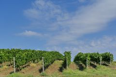 Rows of young grape vines. Vine rows are aligned on the slope of a hill against the blue sky with small white clouds. Beautiful vineyard is situated near Royalty Free Stock Images