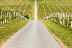 Rows of young grapes in the countryside Royalty Free Stock Images