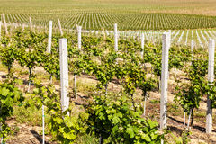 Rows of young grapes in the countryside stock photos