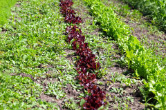 Rows of young green and red salad lettuce growing in field Stock Photo