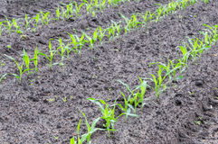 Rows of young maize plants in earth Stock Photo