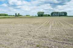 Rows of young maize plants in a rural landscape Stock Photos