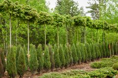 Rows of young maple trees, thuja plants and juniper bushes. Alley of seedling of trees, bushes, plants at plant nursery royalty free stock photo