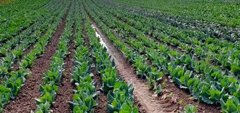Rows of young plants in a field stock photos