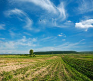 Rows of young plants in a field under blue sky Royalty Free Stock Image