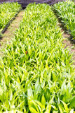 The rows of young plants Royalty Free Stock Photography