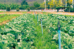 Rows of Young Plants with sprinklers. Commercial organic nursery growing vegetable seedlings Royalty Free Stock Image