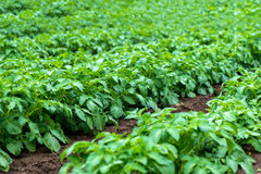 Rows of young potato plants on the field Royalty Free Stock Photos
