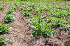 Rows of young potato plants Stock Photo