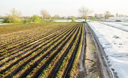 Rows of young potatoes grow in the field. Drip irrigation. Farmland, agriculture landscape. Rural plantations. Farm Farmland. Farming. Selective focus stock photography
