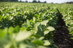 Rows of young soybean plants Royalty Free Stock Images