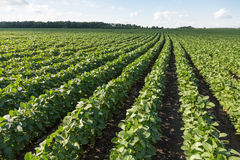 Rows of young soybean plants Royalty Free Stock Photo