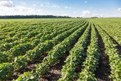 Rows of young soybean plants Royalty Free Stock Photos