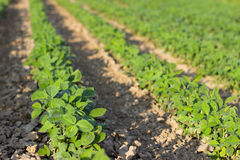 Rows of young soybean plants in a field Soybean Field Rows in summer Stock Photography