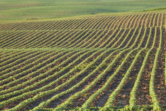 Rows of young soybean plants in morning light Royalty Free Stock Photography