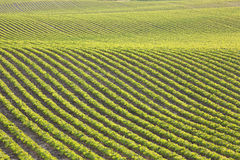 Rows of young soybeans in afternoon sunlight. Undulating rows of young soybeans in a field stock image