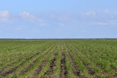 Rows Of Young Sugarcane. Rows Of Young Sugar Cane In Southern Florida royalty free stock photo