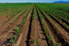 Rows of young suger cane plants portray perspective. Perspective is the art of representing three-dimensional objects on a two-dimensional surface. These royalty free stock photos