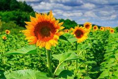 Rows of young sunflowers horizontal. Rows of young sunflowers near the hill under a blue sky horizontal Royalty Free Stock Photo