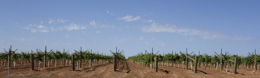 Rows Of Young Table Grape Vines. Royalty Free Stock Images