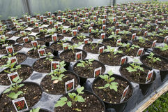 Rows of Young Tomato Plants Royalty Free Stock Photography