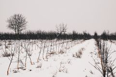 Rows of young trees in winter scenery. Young orchard in winter scenery Royalty Free Stock Images