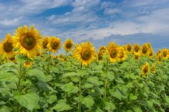 Rows of young Ukrainian sunflowers Stock Images