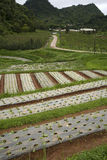 Rows of young vegetable plants Royalty Free Stock Image