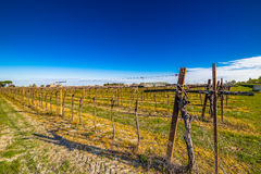 Rows of young vines Royalty Free Stock Image