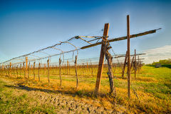 Rows of young vines Stock Photography