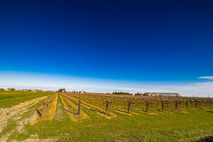 Rows of young vines Royalty Free Stock Images