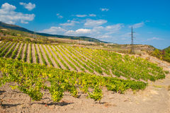 Rows of young vineyards in Crimean mountains Royalty Free Stock Images