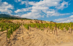 Rows of young vineyards in Crimean mountains at fall season Royalty Free Stock Photography