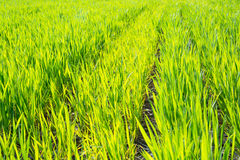 Rows of young wheat crops in the spring. Stock Photo