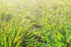 Rows of young wheat plants on a moist field in a sunny morning. Close-up foto.  stock image